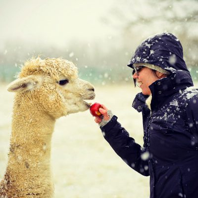 noths-duchess-alpaca-eating-apple-800x800